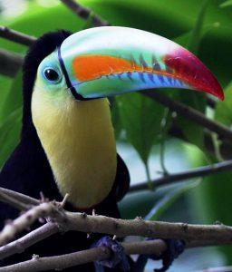 toucan-mf